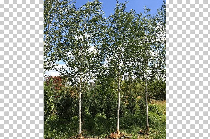 River Birch Tree Oak Shrub Temperate Broadleaf And Mixed Forest PNG, Clipart, Betulaceae, Biome, Birch, Birch Family, Branch Free PNG Download