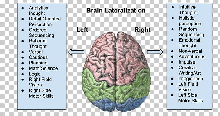Lateralization Of Brain Function Cerebral Hemisphere Human Brain Cerebral Cortex PNG, Clipart, Brain, Brain Asymmetry, Brocas Area, Cerebral Cortex, Cerebral Hemisphere Free PNG Download