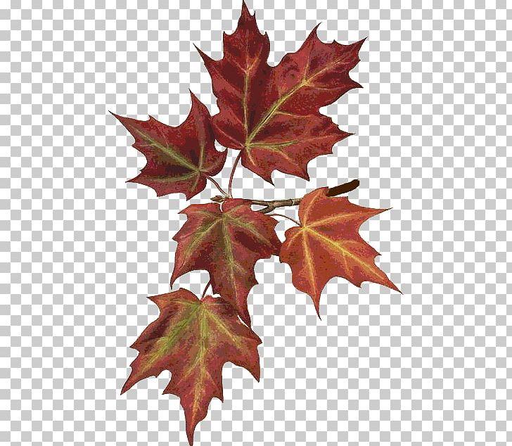 Maple Leaf Autumn Leaves Botany Botanical Illustration PNG, Clipart, Autumn, Autumn Leaves, Botanical Illustration, Botany, Follaje Free PNG Download