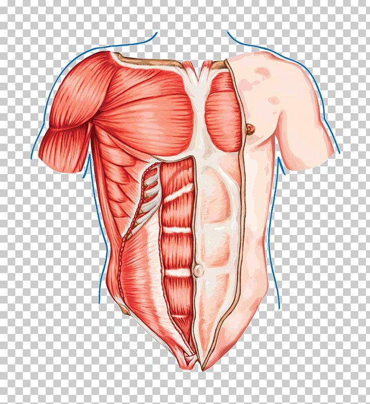 pectoralis major human body thorax muscle human anatomy png, clipart,  abdomen, anatomy, arm, back, blood vessel