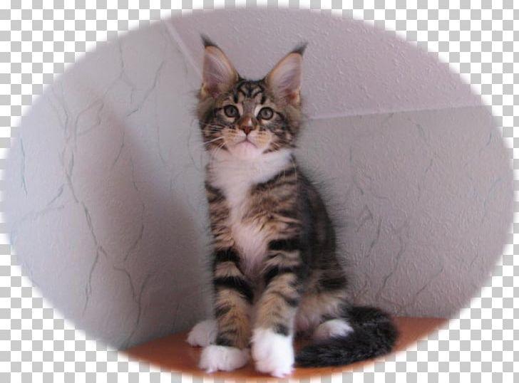 Kitten Maine Coon American Shorthair European Shorthair American Wirehair Png Clipart America American Wirehair Animals Breed