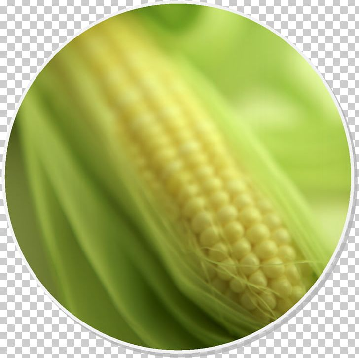 Corn On The Cob Maize Food Corn Syrup Gluten-free Diet PNG, Clipart, Atlantic Sweetner Co, Commodity, Completo, Cooking, Corn On The Cob Free PNG Download