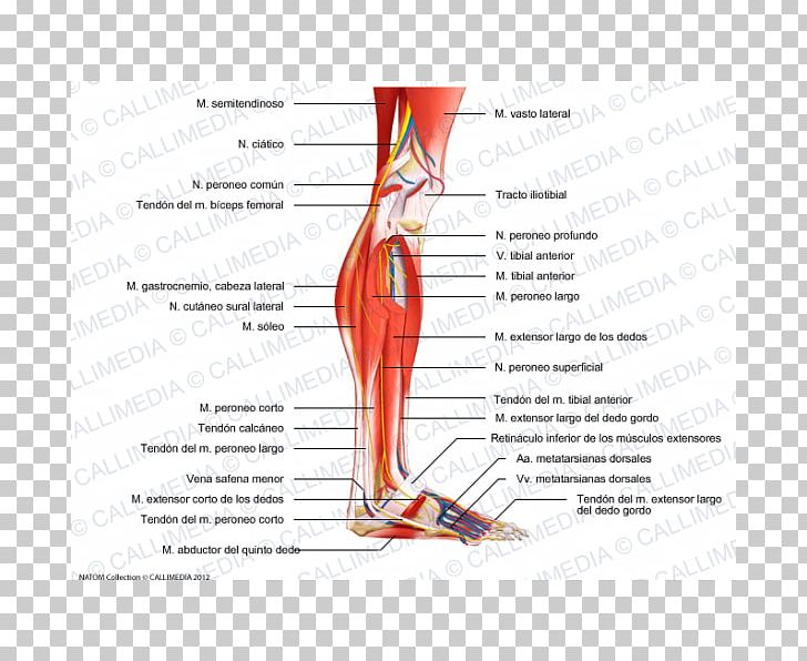 Human Leg Muscle Human Anatomy Knee Nerve PNG, Clipart, Abdomen, Anatomy, Angle, Area, Arm Free PNG Download