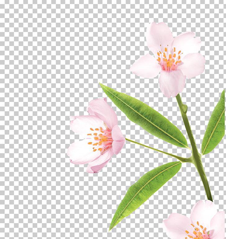 Sasanqua Camellia Pink M Plant Stem PNG, Clipart, Blossom, Camellia, Camellia Sasanqua, Flower, Flowering Plant Free PNG Download