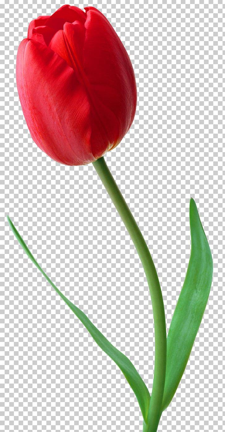 Tulip Flower Desktop PNG, Clipart, Clip Art, Color, Computer Icons, Cut Flowers, Desktop Wallpaper Free PNG Download