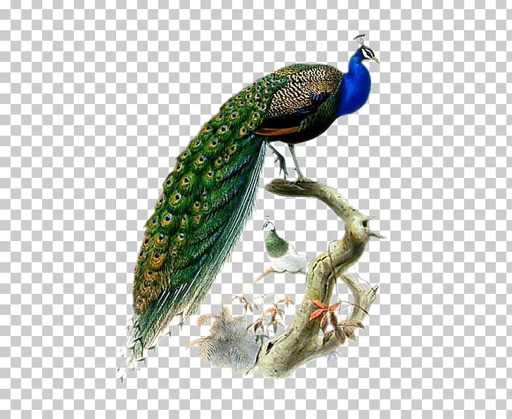Phasianidae Bird Asiatic Peafowl Feather PNG, Clipart, Animals, Asiatic, Asiatic Peafowl, Beak, Bird Free PNG Download