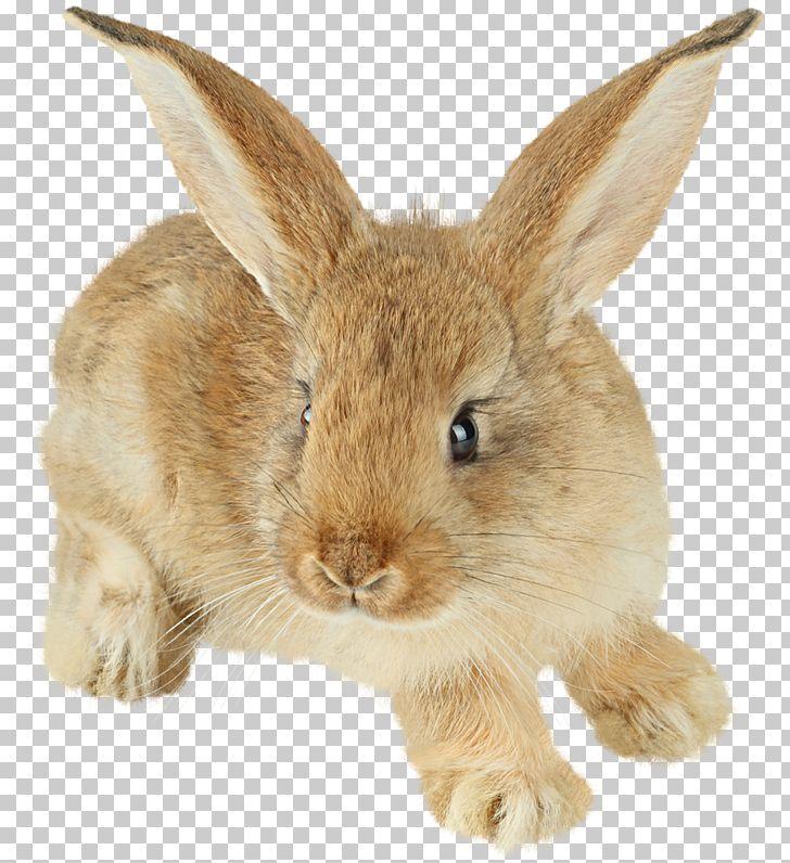 Rabbit Polyclonal Antibodies Antibody Western Blot Immunoglobulin G PNG, Clipart, Animals, Antibody, Clipart, Cottontail Rabbit, Digital Image Free PNG Download