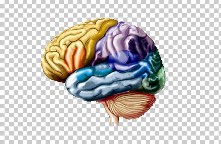 Lobes Of The Brain Cerebral Hemisphere Frontal Lobe Parietal Lobe PNG, Clipart, Anatomy, Brain, Central Nervous System, Central Sulcus, Cerebral Cortex Free PNG Download