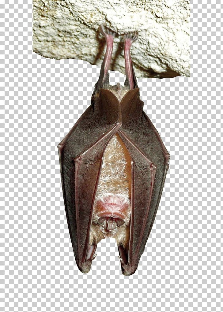 Bat sleeping. Greater horseshoe headstand serotine