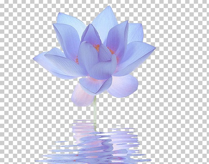 Nelumbo Nucifera Egyptian Lotus Flower Blue Lilium Png Clipart