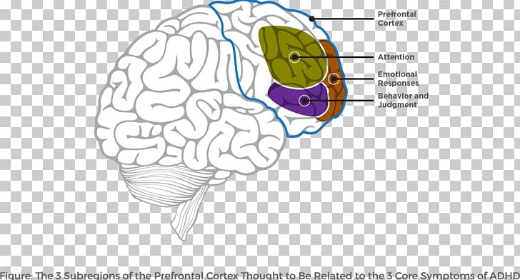 Lobes Of The Brain Attention Deficit Hyperactivity Disorder Prefrontal Cortex Frontal Lobe PNG, Clipart, Area, Attention, Brain, Human Behavior, Human Body Free PNG Download