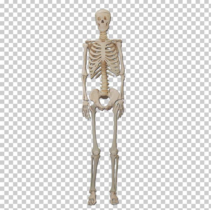 Human Skeleton Bone Human Body Organ PNG, Clipart, Anatomy, Bone, Cartoon Skeleton, Dinosaur Skeleton, Exo Skeleton Free PNG Download