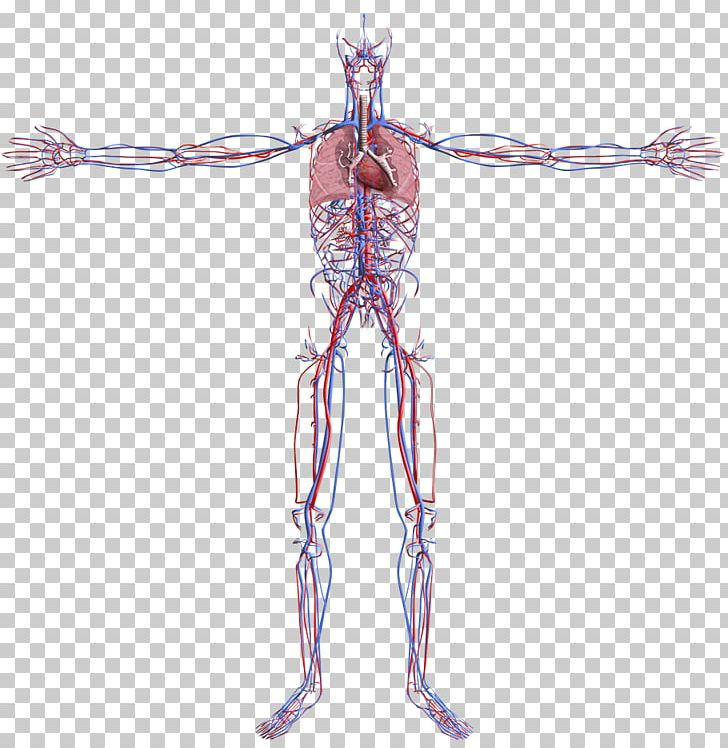 Muscle Circulatory System Human Body Blood Vessel Organ