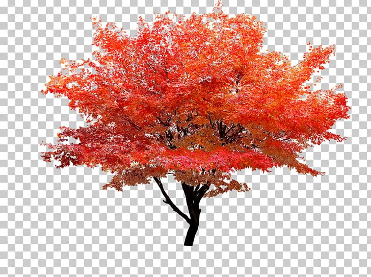Red Maple Autumn Leaf Color Tree PNG, Clipart, Arecaceae, Autumn, Autumn Leaf Color, Computer Icons, Decorative Patterns Free PNG Download