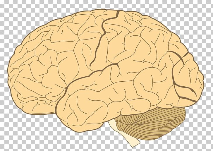 Lobes Of The Brain Parietal Lobe Temporal Lobe Frontal Lobe PNG, Clipart, Brain, Cerebral Cortex, Cerebral Hemisphere, Cerebrum, Frontal Lobe Free PNG Download