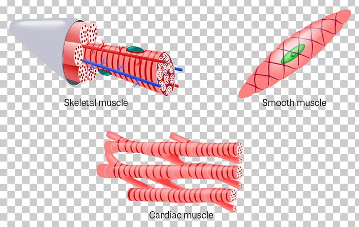 Muscle Tissue Skeletal Muscle Cardiac Muscle PNG, Clipart, Anatomy, Cardiac Muscle, Cardiac Muscle Cell, Connective Tissue, Human Body Free PNG Download