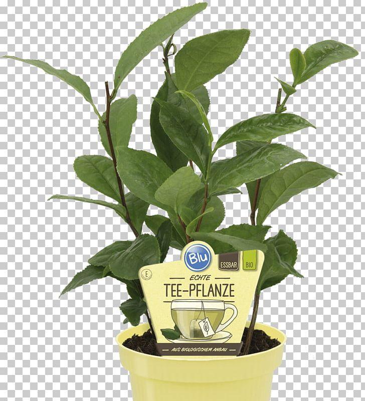 Green Tea Tea Plant Nilgiri Tea Earl Grey Tea PNG, Clipart, Black Tea, Camellia, Camellia Oleifera, Camellia Sinensis, Dianhong Free PNG Download