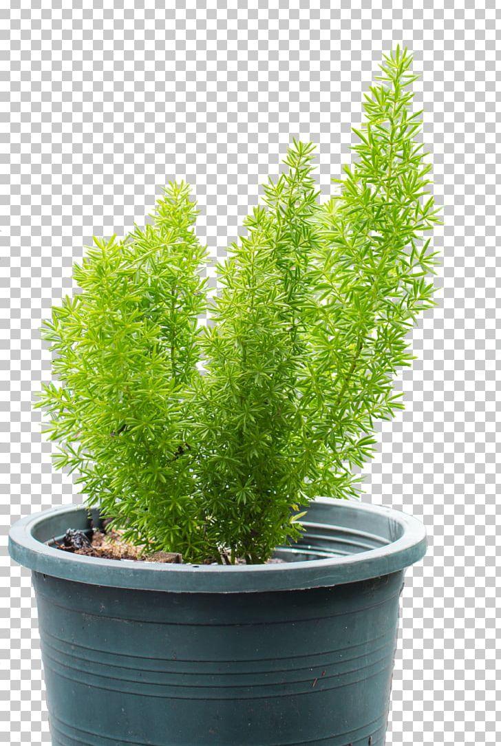Asparagus Densiflorus Houseplant Hienohelma Sprenger's ... on asparagus plants, asparagus aethiopicus, asparagus retrofractus, asparagus soup, asparagus meyersii, asparagus falcatus, asparagus setaceus, asparagus sprengeri, asparagus spears, asparagus asparagoides, asparagus meyeri, asparagus scandens, asparagus plumosus, asparagus genus, asparagus nutritional information about, asparagus fall care, asparagus gardening, asparagus bush, asparagus in perennial garden, asparagus fern,