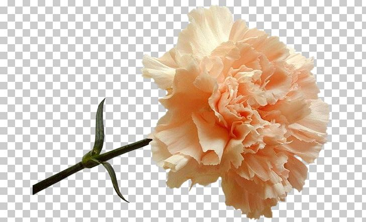 f2ca32a5b Carnation Flower Peach Dianthus Red PNG, Clipart, Blue, Carnation, Cut  Flowers, Dianthus, Flower Free PNG Download