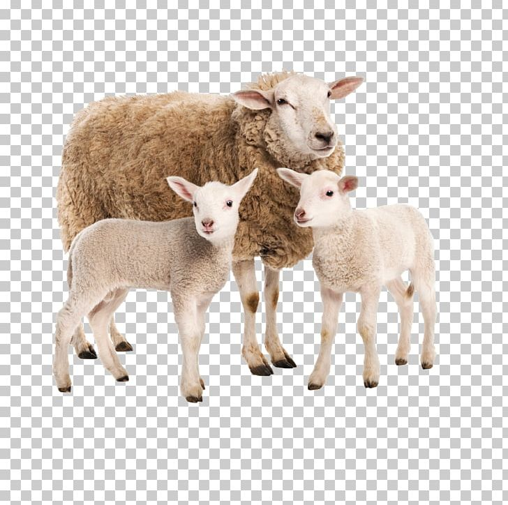 Limousin Cattle Charolais Cattle Sheep Goat Farm PNG, Clipart, Animal, Animals, Black Sheep, Cattle, Charo Free PNG Download