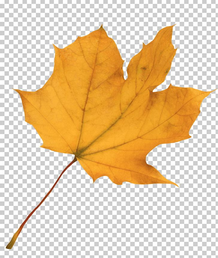 Autumn Leaf Color Red Maple Maple Leaf PNG, Clipart, Autumn, Autumn Leaf Color, Download, Green, Image Resolution Free PNG Download