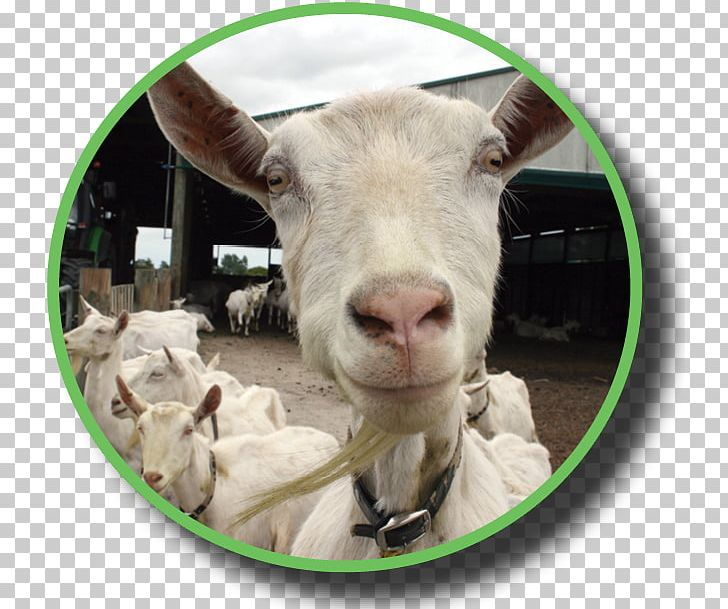 Goat Sheep Industry Dairy Federated Farmers PNG, Clipart, Animals
