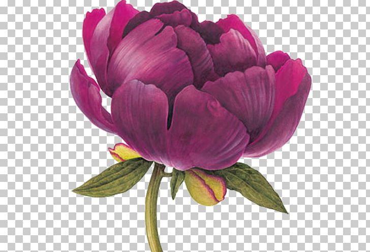 Watercolor Painting Botanical Illustration Drawing Botany PNG, Clipart, Anemone, Art, Botanical Illustration, Botanical Illustrator, Botany Free PNG Download