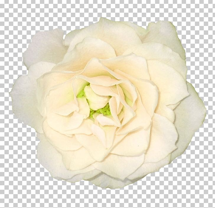 Large White Rose PNG, Clipart, Flowers, Nature, Rose Free PNG Download
