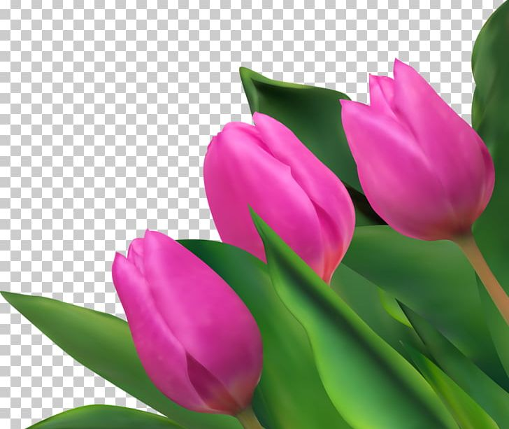 Tulip Purple Flower PNG, Clipart, Bud, Closeup, Computer Wallpaper, Designer, Download Free PNG Download
