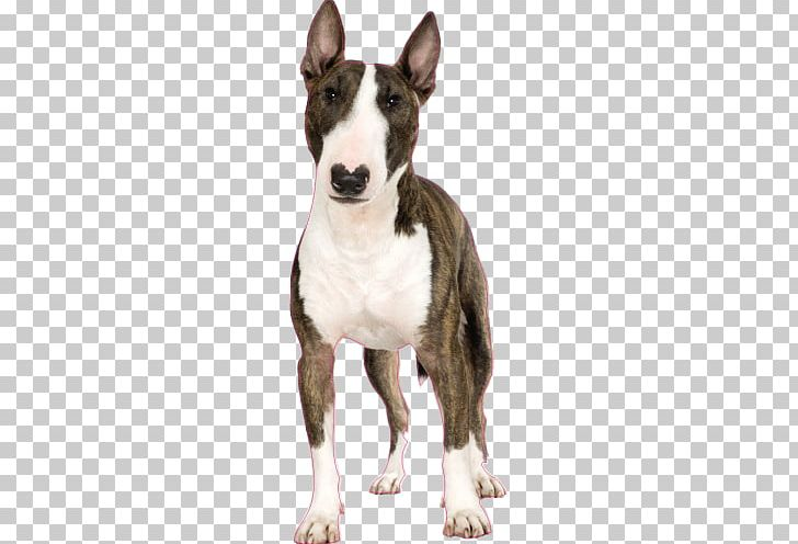 Miniature Bull Terrier Puppy Jack Russell Terrier Toy