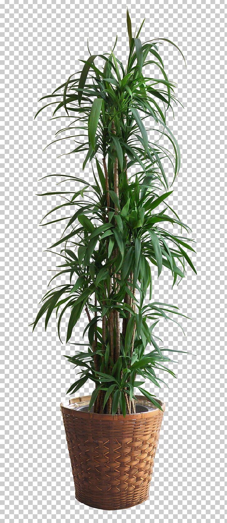 Populus Alba Populus Nigra Plant Tree Png Clipart Arecales Bonsai Cottonwood Cyathea Cooperi Evergreen Free Png