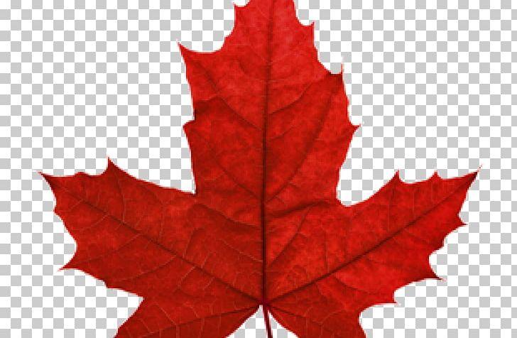 Red Maple Maple Leaf Japanese Maple Autumn Leaf Color PNG, Clipart, Acer Japonicum, Acer Nigrum, Autumn Leaf Color, Desktop Wallpaper, Japanese Maple Free PNG Download