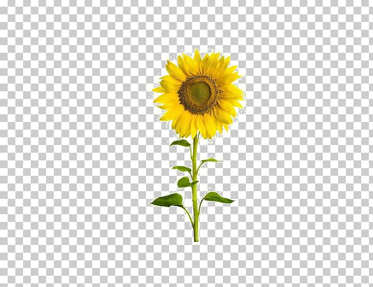 Common Sunflower Sunflower Seed Stock Photography PNG, Clipart, Cut Flowers, Daisy Family, Drawing, Flower, Flowers Free PNG Download