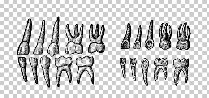 Deciduous Teeth Human Tooth PNG, Clipart, Art, Black And White, Blackwork, Deciduous, Deciduous Teeth Free PNG Download