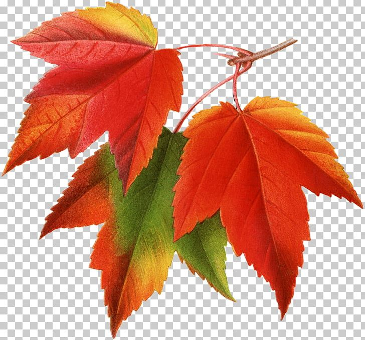 Canada Japanese Maple Red Maple Maple Leaf PNG, Clipart, Autumn, Autumn Leaf Color, Autumn Leaves, Canada, Clip Art Free PNG Download