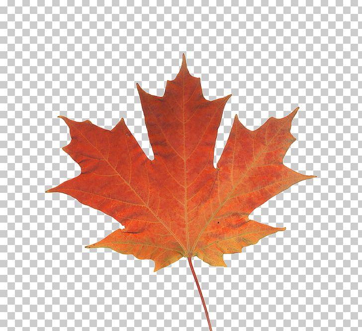 Maple Leaf Autumn Leaf Color Canada PNG, Clipart, Autumn, Autumn Leaf Color, Canada, Flag Of Canada, Green Free PNG Download