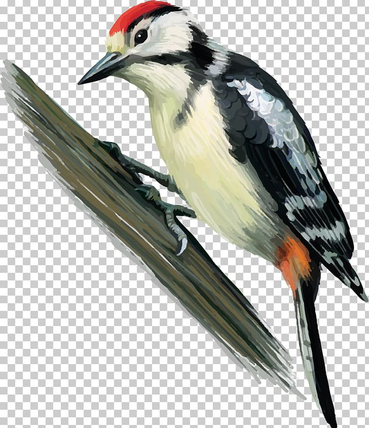 Great Spotted Woodpecker Bird Finch Middle Spotted Woodpecker PNG, Clipart, Animals, Beak, Bird, Drawing, European Green Woodpecker Free PNG Download