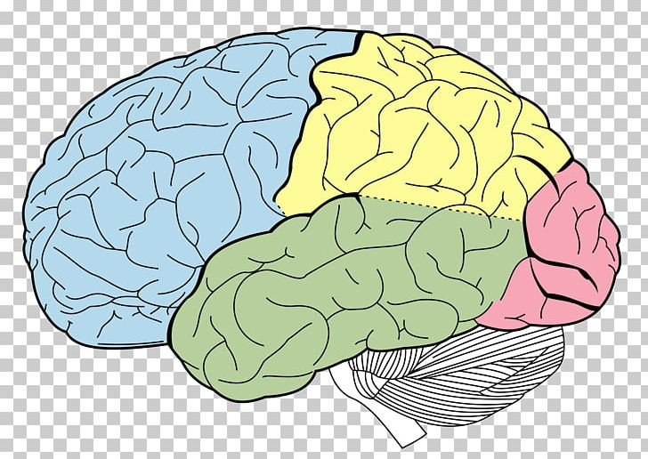 Lobes Of The Brain Occipital Lobe Frontal Lobe Parietal Lobe PNG, Clipart, Anatomy, Area, Brain, Cerebellum, Cerebral Cortex Free PNG Download