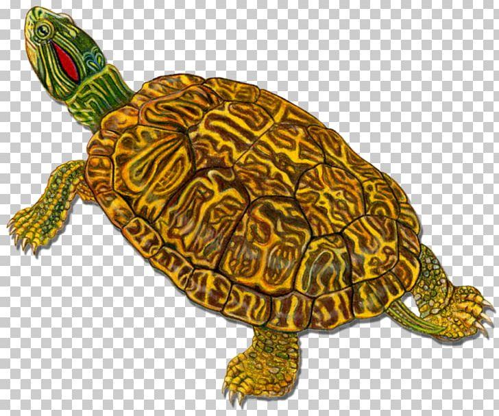 Box Turtles Loggerhead Sea Turtle Tortoise PNG, Clipart, Animal, Animals, Box Turtle, Box Turtles, Caretta Free PNG Download