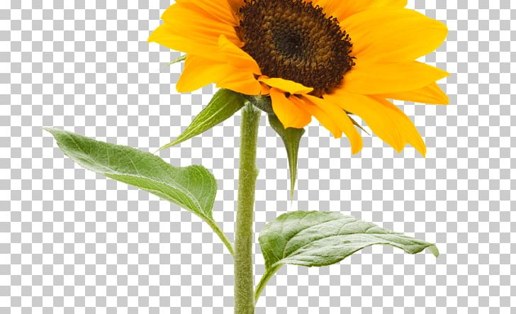 Stock.xchng Portable Network Graphics Common Sunflower Desktop PNG, Clipart, Annual Plant, Calendula, Cartoon Sunflower, Common Sunflower, Computer Icons Free PNG Download