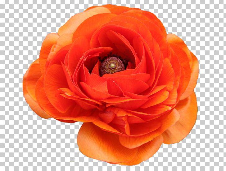 Garden Roses PhotoFiltre PaintShop Pro Pink Color PNG, Clipart, Cartoon, Creative Background, Decoration, Decoration Image, Decorative Free PNG Download