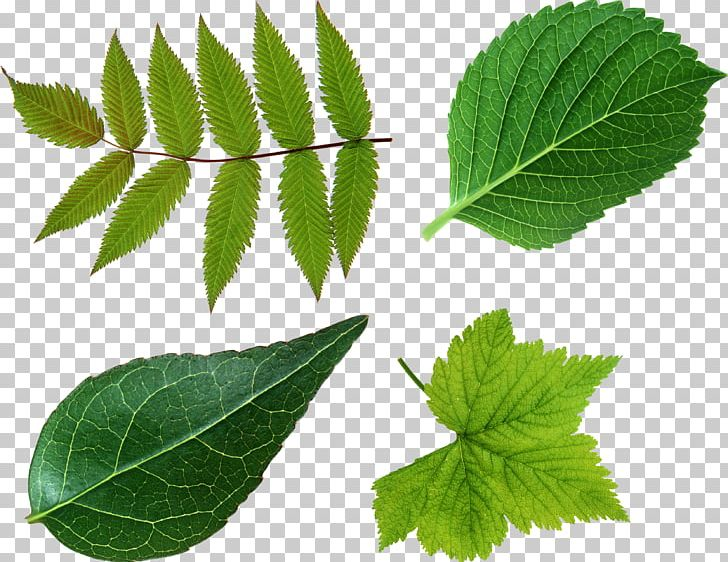 Leaf Green Look At Leaves PNG, Clipart, Computer Icons, Desktop Wallpaper, Display Resolution, Elm Family, Free Free PNG Download