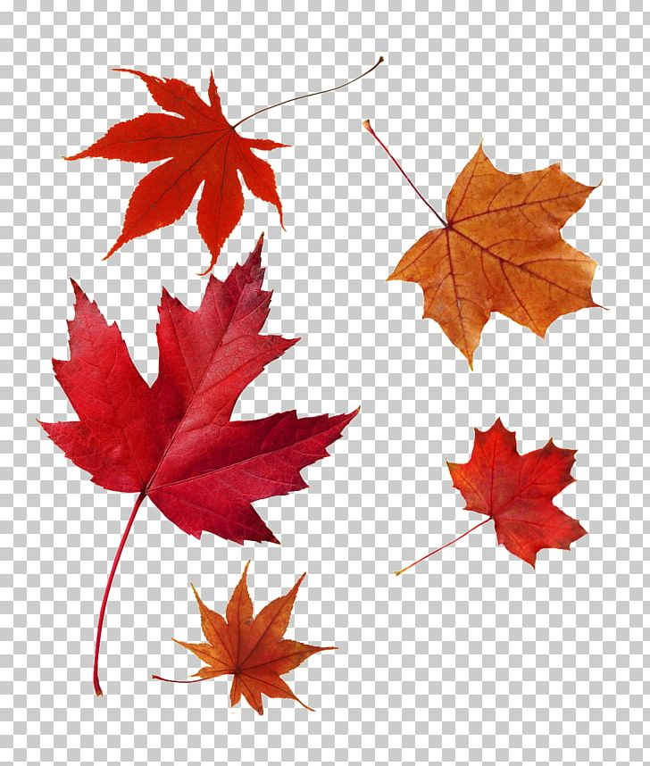 Japanese Maple Autumn Leaf Color Red Maple Maple Leaf PNG, Clipart, Autumn, Autumn Leaf Color, Color Red, Flowering Plant, Green Free PNG Download