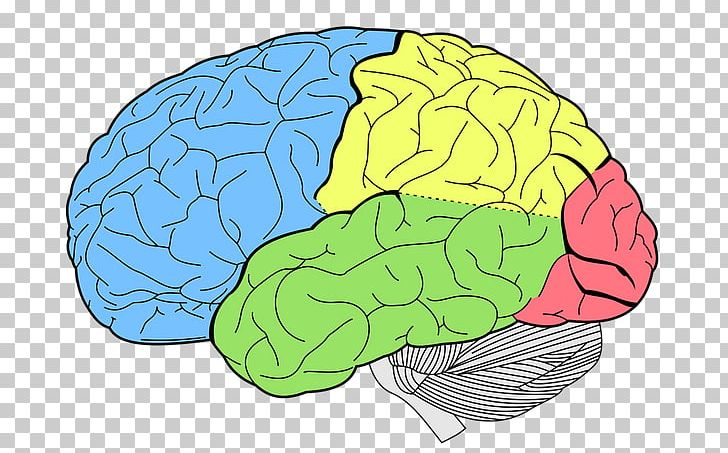 Lobes Of The Brain Human Brain Temporal Lobe Parietal Lobe PNG, Clipart, Area, Brain, Cerebellum, Cerebral Cortex, Cerebral Hemisphere Free PNG Download
