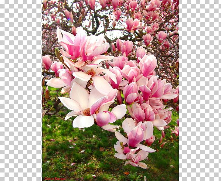 Chinese Magnolia Magnolia Liliiflora Tulip Tree Magnolia Denudata