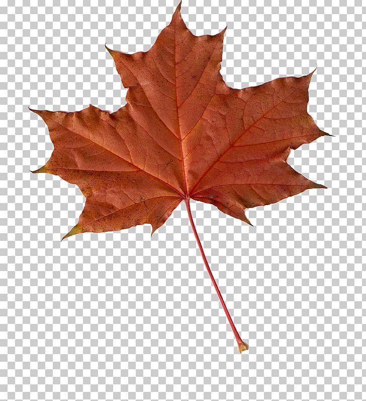 Maple Leaf Autumn Leaves PNG, Clipart, Autumn, Autumn Leaves, Clip Art, Japanese Maple, Leaf Free PNG Download