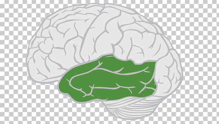 Lobes Of The Brain Frontal Lobe Temporal Lobe Cerebral Cortex PNG, Clipart, Brain, Brainstem, Cerebellum, Cerebral Cortex, Cerebrum Free PNG Download