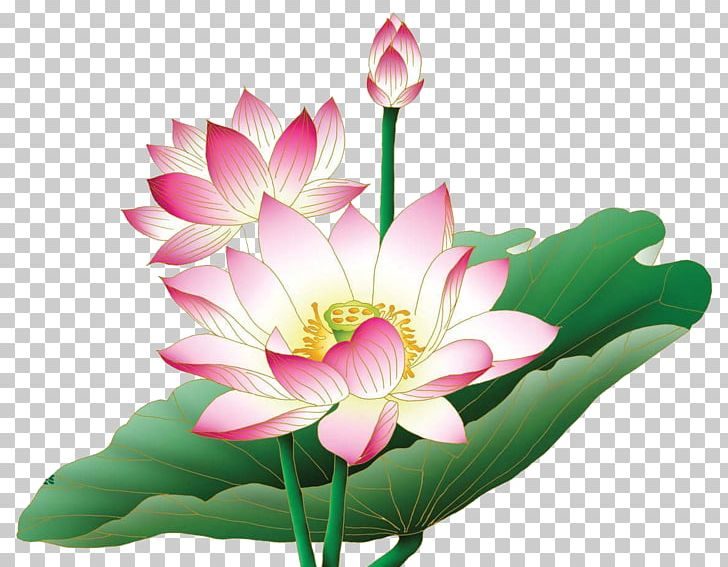 Nelumbo Nucifera Egyptian Lotus Flower Png Clipart Aquatic Plant