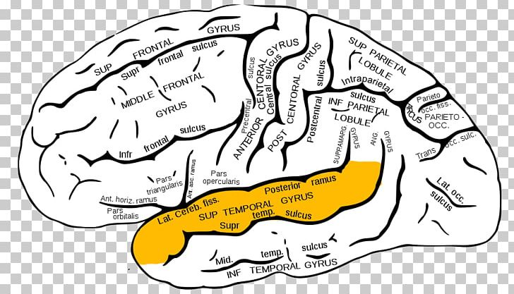 Inferior Frontal Gyrus Superior Frontal Gyrus Frontal Lobe Middle Frontal Gyrus PNG, Clipart, Brain, Frontal Lobe, Gyrus, Hand, Human Behavior Free PNG Download