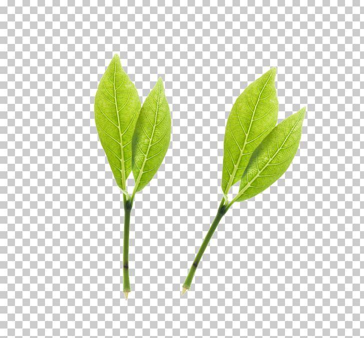 Green Tea Png Clipart Branch Bubble Tea Computer Graphics Cup Download Free Png Download